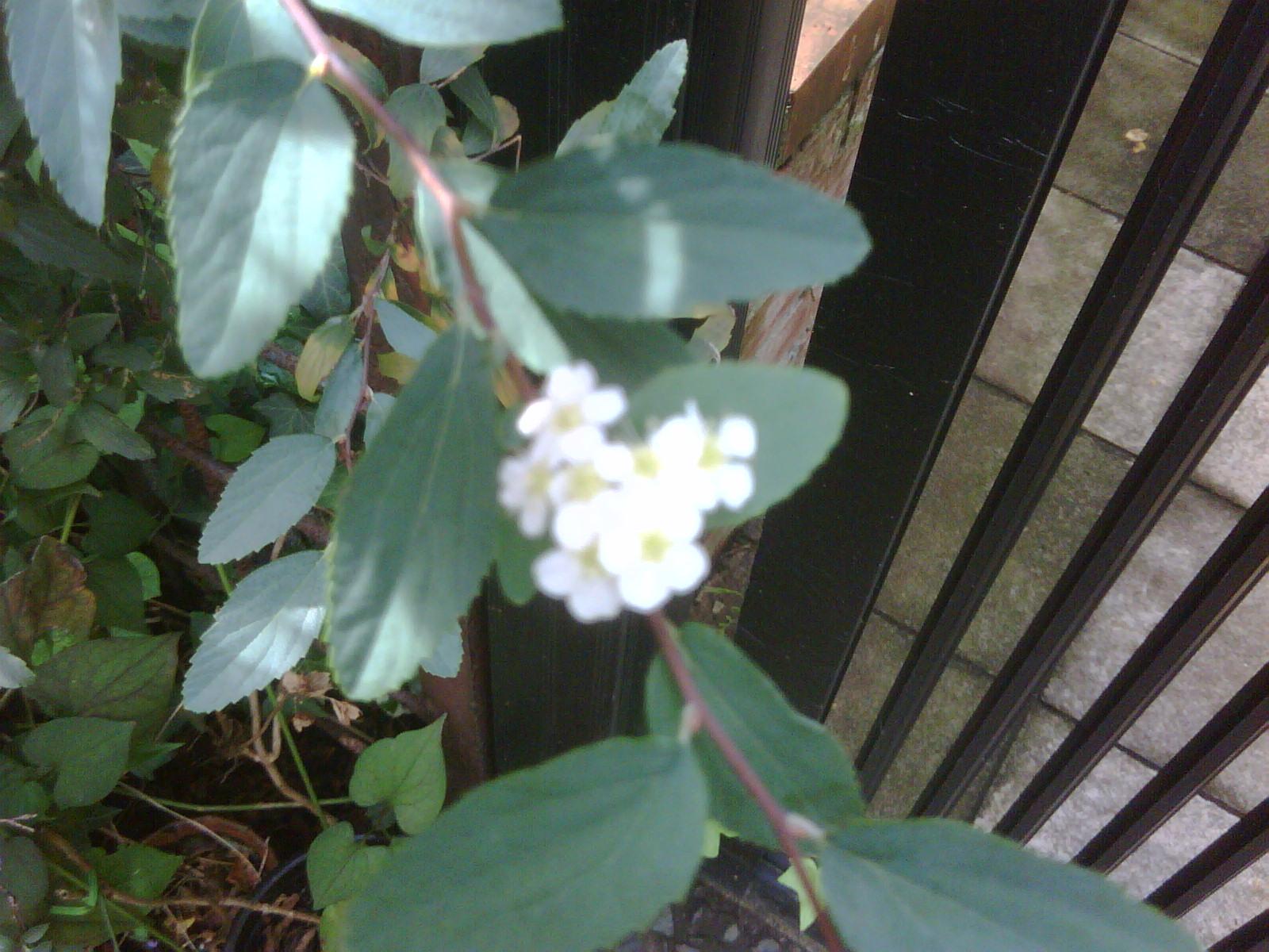 コデマリの狂い咲き